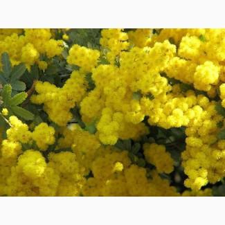Мимоза. Цветы мимозы. Мимоза грузинская