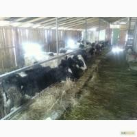 Крс, врх Украина крупный рогатый скот, велика рогата худоба, бички, бычки