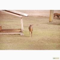 Мунтжак пара, пара мунтжаков красавцы олени