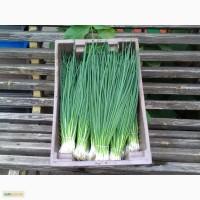 Продам зеленый лук, очень хорошего качества