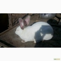 Продам кролі породи Каліфорнія