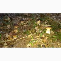 Продам свіжозібраний білий гриб карпатський оптом