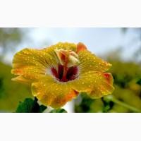 Купить Гибискус Питомник выращивает саженцы деревьев и декоративних ростений, есть опт