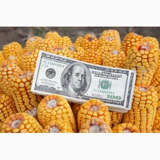 Куплю кукурузу с поля, склада
