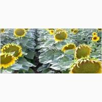 Солтан, гранстаростійкий гібрид соняшника від виробника