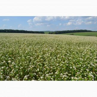 Продам насіння канадськоі гречки ГРЕНДБІ