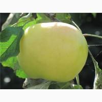 Саженцы плодовых деревев. 100 % соответствие сорту