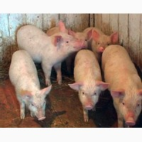 ДЕШЕВО!!!Продам малих поросят і дорослих свиней