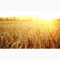 Закуповуємо пшеницю фуражну по Одесській області