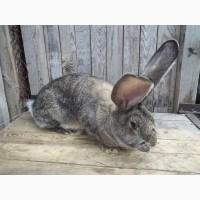 Кролики фландр, фландер, бельгийский великан