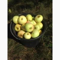Закуповуемо яблока на сiк