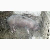 Продам свиноматку породы беркшир