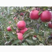 Частное фермерское хозяйство ООО Грин Голд продает яблоки