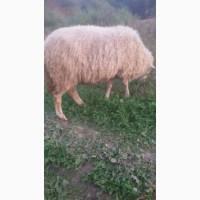 Продам кітних овечок