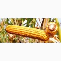 Куплю проблемную кукурузу, влажную, сорную, прелую, сажковую