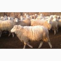 Продам баранов асканийской породы