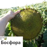 Семена подсолнечника Босфора круизер (Сингента)