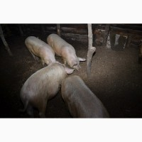 Продам свиней живою вагою