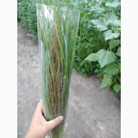 Продам зеленый лук сеянка