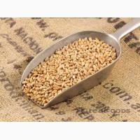 Підприємство купляє фуражну пшеницю+організовуємо доставку