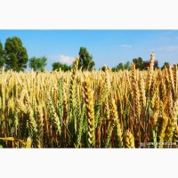Пшеница Берегиня Мироновская( лютесценс )