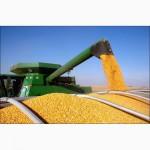 Компания постоянно и дорого закупает кукурузу любого качества (возможно влажную)