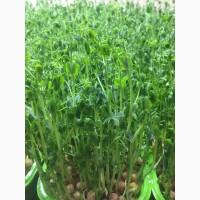 Продам микрозелень ростки гороха