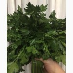 Зелень петрушки продам