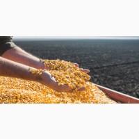 Есть покупатели кукурузы для производства спирта