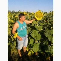 Продам семена подсолнечника гибрид КАРДИНАЛ F1 95 дней. Економ, Стандарт, Екстра