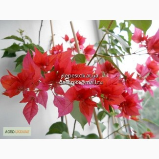 Бугенвиллия Double Red(махровая красная)