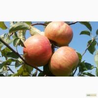 Продам яблука з молодого саду різних сортів. Опт., дрібний опт