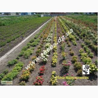 Саженцы роз для озелененич участков: штамбовые, плетистые, бордюрные, патио, спрей