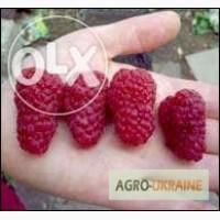 Продам кусты малины ремонтантной(плодит всё лето)