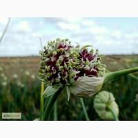 Воздушные семена озимого чеснока