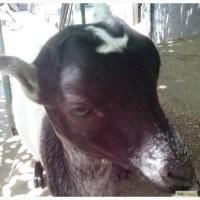 Прода козу породы ламанча