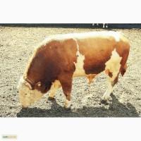 Закупаем КРС: коровы, тёлки, бычки, молодняк любого возраста, свиней
