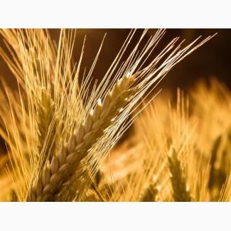 Купим пшеницу 2-6 класс. Вся Украина