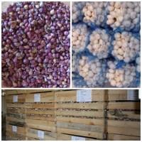 Насіннєвий Завод Часнику реалізує високоякісний посівний матеріал ЧАСНИКУ