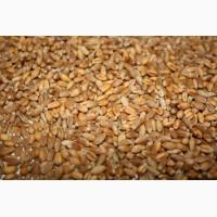 Продам фуражную пшеницу 5 класса на экспорт