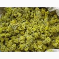 Продам бессмертник (цмин песчанный) - 60 грн./кг