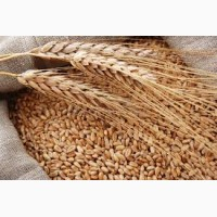 Купуємо пшеницю 3 клас. висока ціна