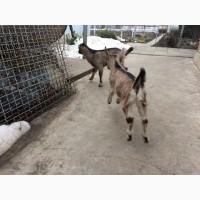 Продам двух козлов породы Ламанча и Альпийский