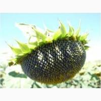 Семена подсолнечника Тунка, ЛГ5580, ЛГ 5633КЛ