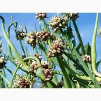 Продам посадочный материал лука многоярусного