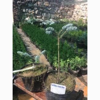 Туя смарагд. Прищеплені рослини Hoopsii, Compacta, Glauca Globosa