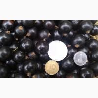 Продам ягоды черной смородины с поля