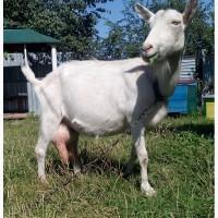 Срочно продам стадо коз и 2-х козлов