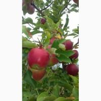 Продам яблоки со своего сада отличного качества, без паршы, градобоя