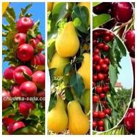 Саженцы колоновидных деревьев слива, персик, груша, черешня, яблоня.вишни, абрикос, черешня